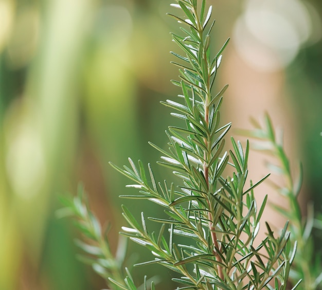 Herbe de romarin frais poussant à l'extérieur