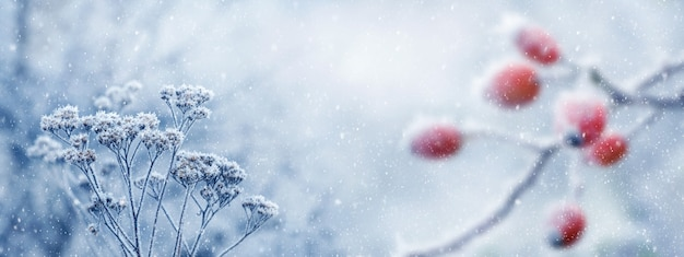 Herbe sèche couverte de givre près d'un rosier de chien, fond d'hiver