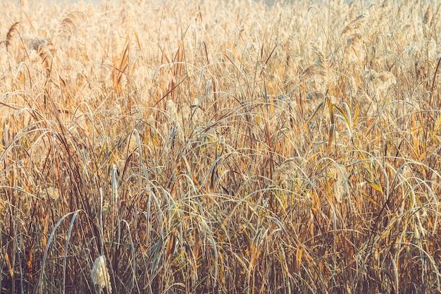 Herbe sèche de fond abstrait tôt le matin en hiver