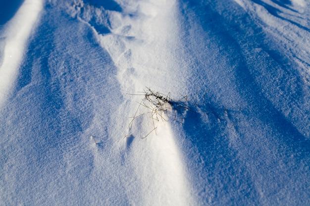 L'herbe sèche qui sort de la neige