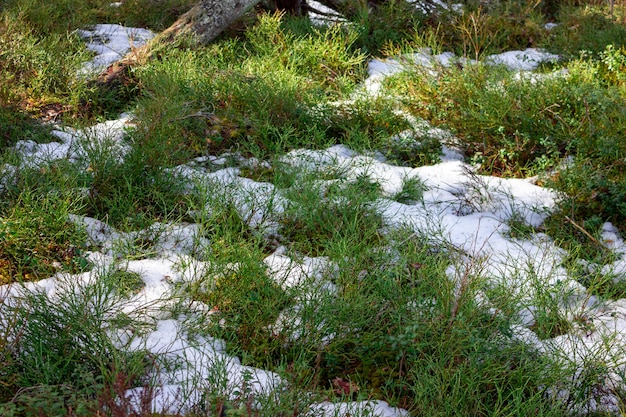 Herbe sous la neige mousse sous la neige forêt d'hiver la dernière neige
