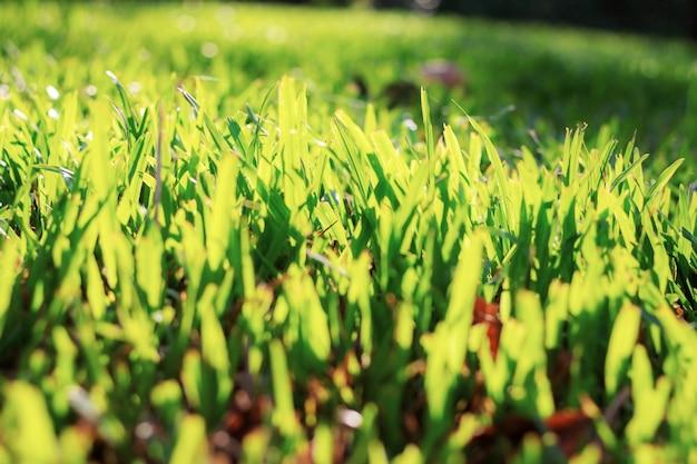 Herbe sur terrain en été avec le coucher du soleil.
