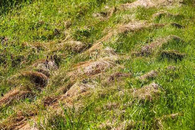 Herbe tondue et séchée pour l'alimentation animale, foin d'herbe sèche pour l'agriculture