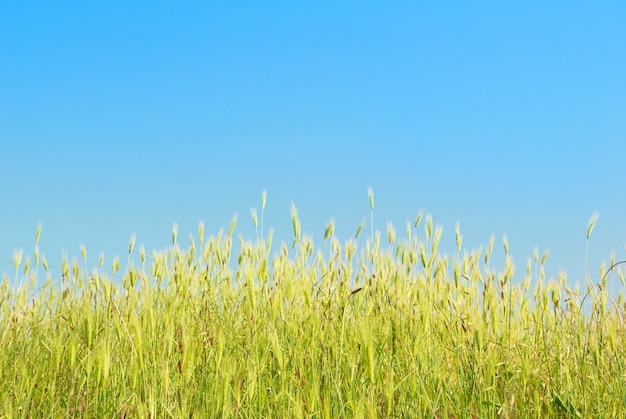 Herbe verte avec ciel bleu et nuages.