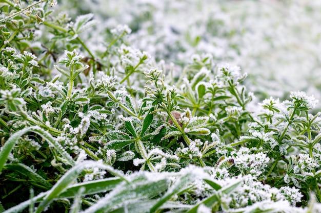 Herbe verte couverte de givre au début de l'hiver, fond d'hiver