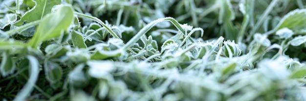 Herbe verte avec du givre du matin dans le jardin, herbe gelée avec du givre sur le pré au lever du soleil. motif texturé de fond naturel. bannière
