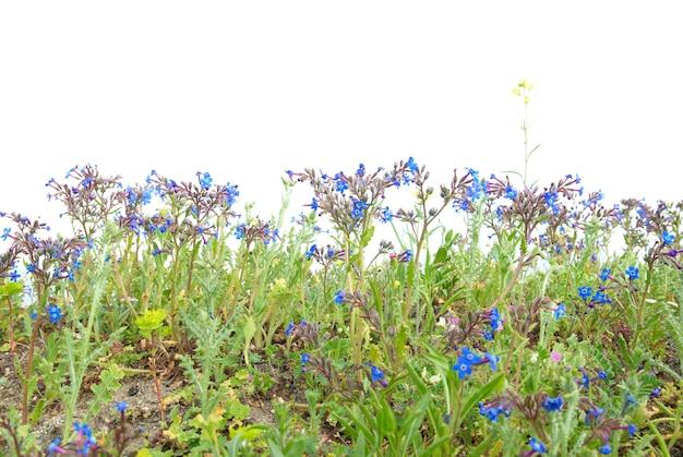 Herbe verte avec des fleurs bleues isolées