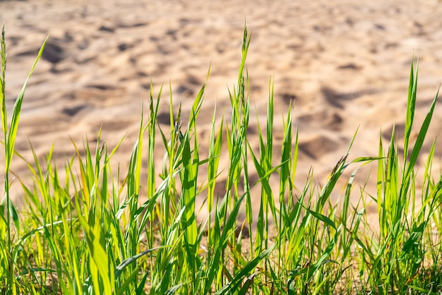 Herbe verte sur fond de sable sec. fond naturel naturel.