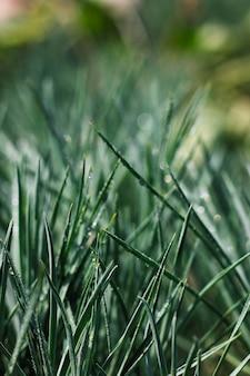 Herbe verte avec des gouttes d'eau