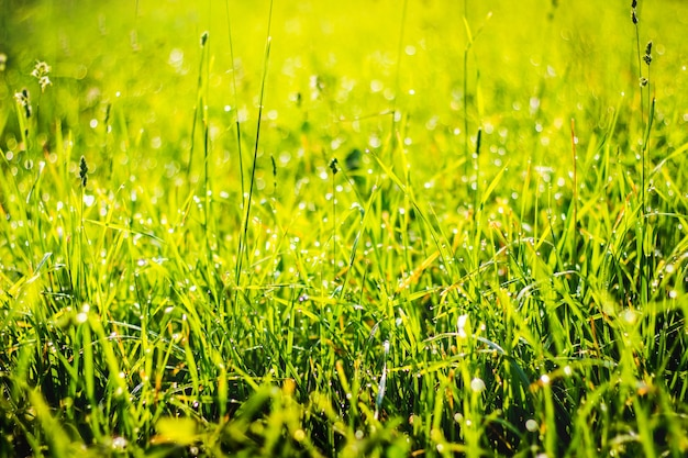 Herbe verte avec des gouttes de rosée au soleil, arrière-plan pour la conception_