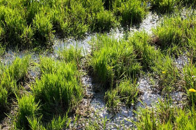 Herbe verte inondée poussant sur une prairie en été, gros plan