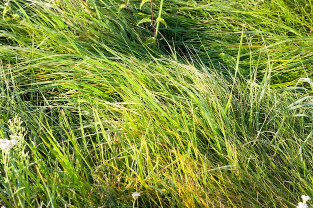 Herbe verte et jaunissante couverte de rosée au début de l'automne, gros plan dans la forêt