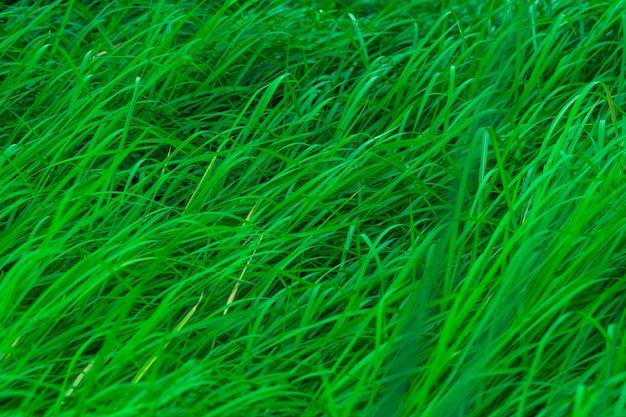 Herbe verte à longues feuilles. fond de texture herbe tiges vertes naturelles. contexte organique et sain. contexte du produit cosmétique biologique.