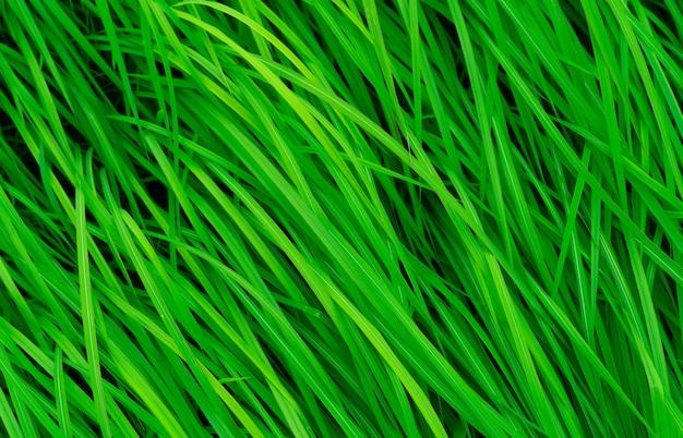 Herbe verte à longues feuilles.