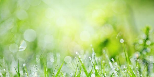 Herbe verte luxuriante juteuse sur pré avec des gouttes de rosée de l'eau dans la lumière du matin au printemps été extérieur gros plan macro, panorama.