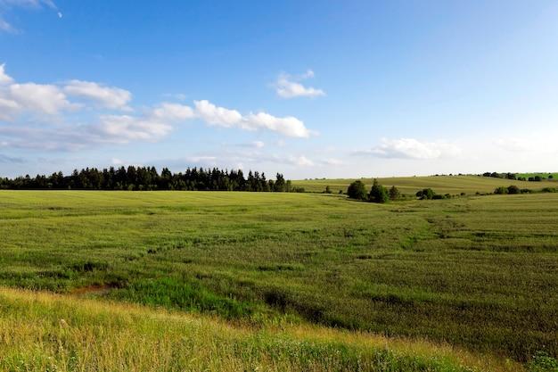 Herbe verte non mûre poussant sur le terrain agricole