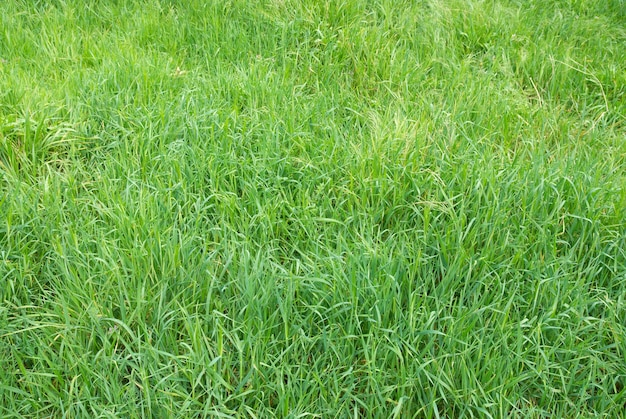L'herbe verte peut être utilisée pour le fond