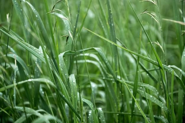 L'herbe verte recouverte de gouttes d'eau après la pluie fond naturel d'été