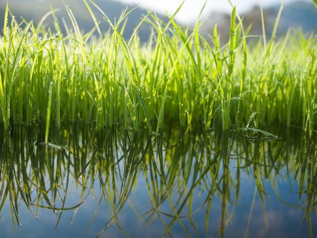Herbe verte avec réflexe de l'eau