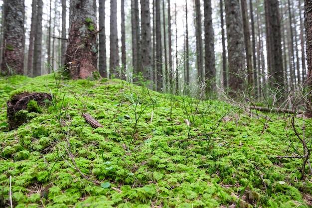 Herbe verte sous de grands arbres dans la forêt