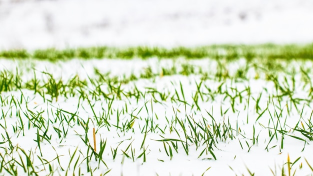 Herbe verte sous la neige, fond d'hiver