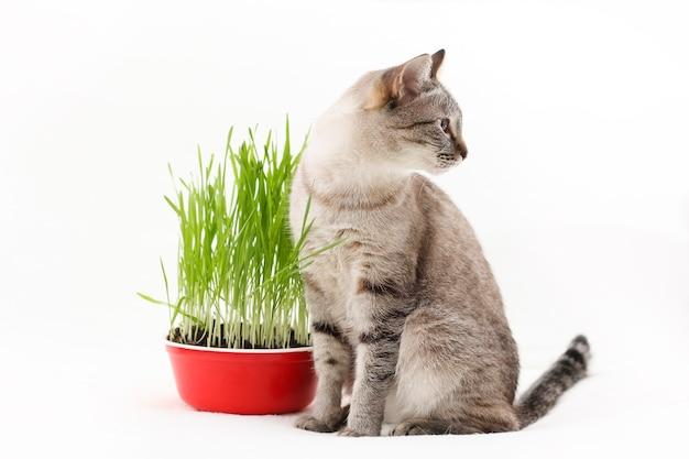 De l'herbe, des vitamines et de la nourriture pour un chat domestique. soins et alimentation des animaux de compagnie.