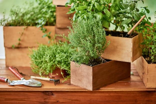 Herbes épicées biologiques fraîches poussant dans des pots en bois