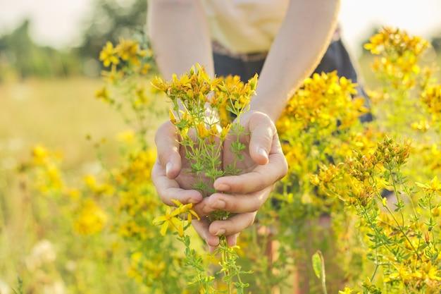 Herbes médicinales poussant dans une prairie sauvage. hypericum de millepertuis en fleurs jaunes dans la main des filles. phytothérapie naturelle, écologie, saison estivale