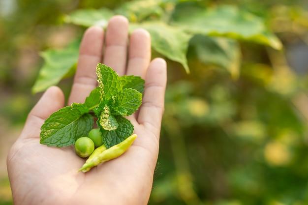 Herbes placées sur les mains.