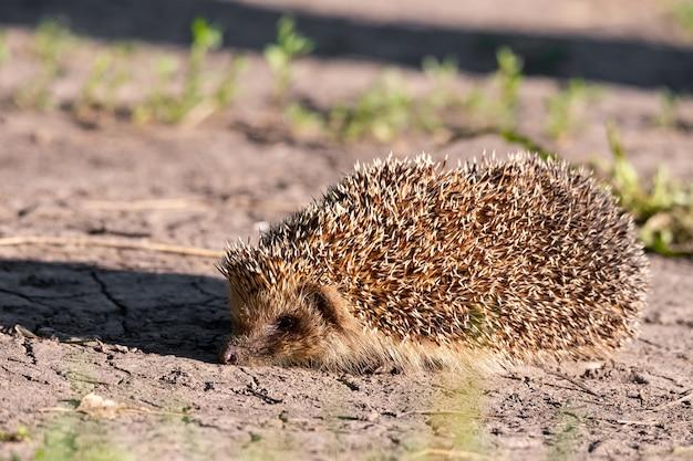Hérisson couché au soleil sur l'herbe verte sur la pelouse