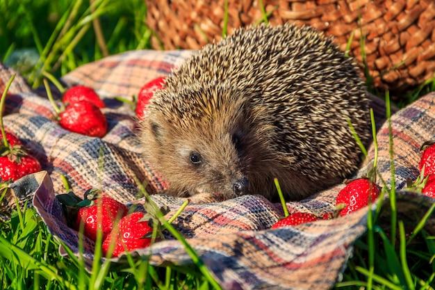 Hérisson dans l'herbe avec des fraises sur le fond d'un panier en osier