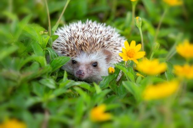 Hérisson d'europe jouant dans le jardin de fleurs, très joli visage et deux pattes avant.
