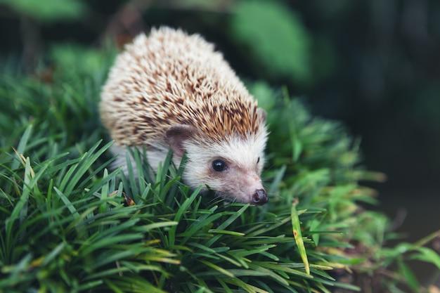 Hérisson européen dans un habitat de jardin naturel avec de l'herbe verte.