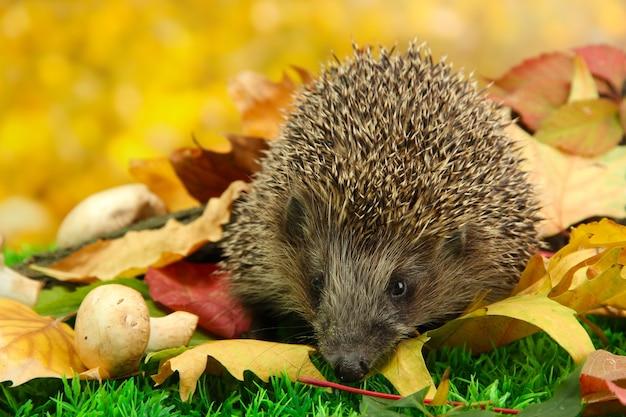 Hérisson sur les feuilles d'automne en forêt