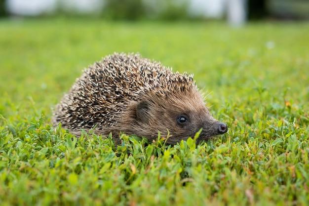 Hérisson sur l'herbe
