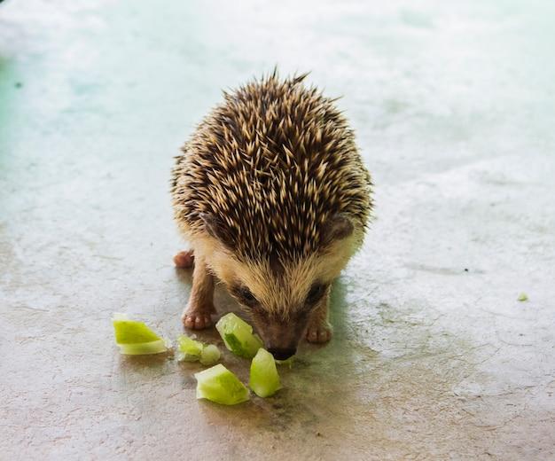 Hérisson ou porc-épic mangeant du concombre sur un sol en béton.