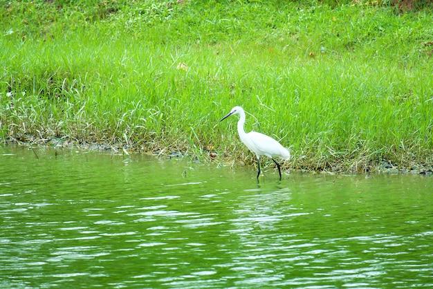 Héron blanc (butor, aigrette) debout dans la rivière et à la recherche d'une victime avec de l'herbe verte.