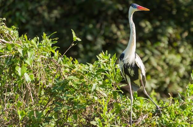 Héron blanc dans le pantanal brésilien