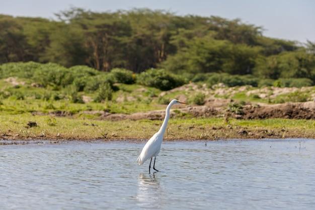 Héron blanc sur l'eau