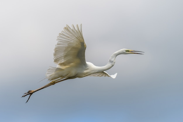 Héron blanc, grande aigrette, vole dans le ciel. oiseau d'eau dans l'habitat naturel. scène de la faune