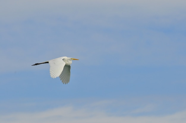 Héron blanc volant