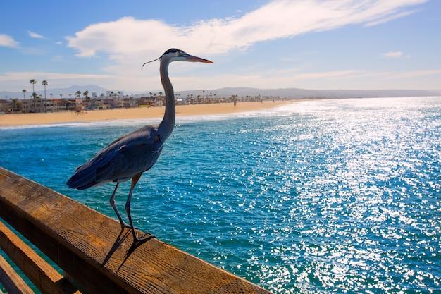 Héron bleu ardea cinerea à newport pier en californie