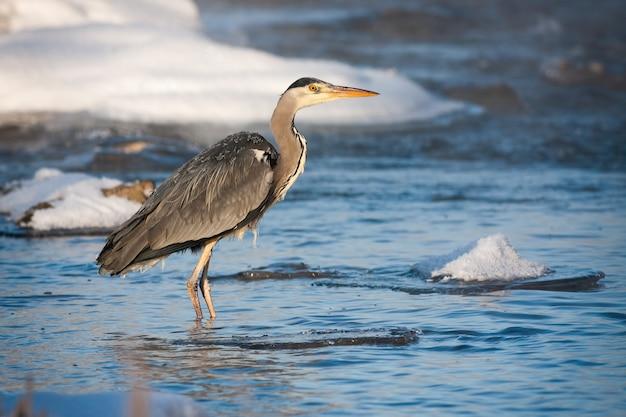 Héron cendré debout dans la rivière froide au lever du soleil en hiver