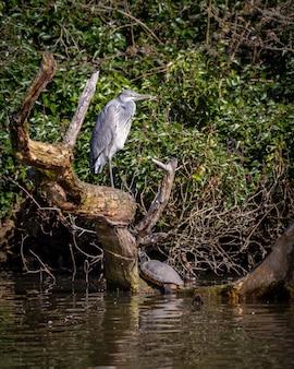 Héron cendré debout sur une jambe sur un arbre mort dans l'eau avec des arbres verts