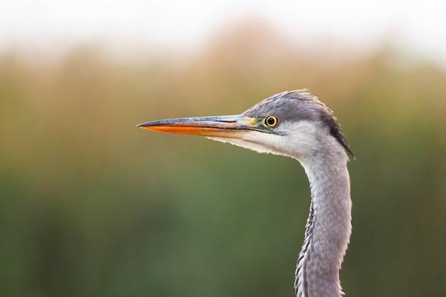 Héron cendré intéressé observant l'environnement dans les zones humides d'été.