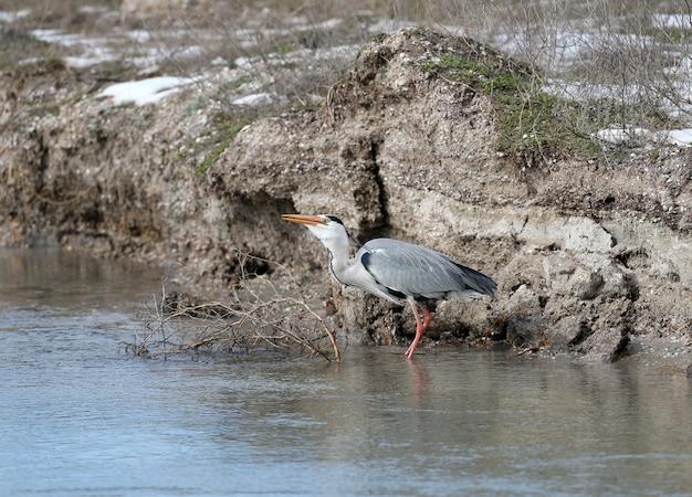 Héron cendré en plumage nuptial se dresse dans une eau et mange un petit poisson