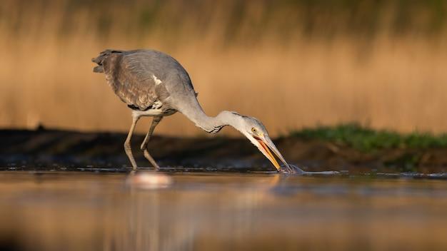 Héron cendré qui s'étend du cou et prend un poisson hors de l'eau pendant la chasse matinale