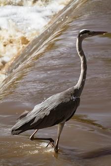 Héron cendré sur la rive de la rivière. rivière grumeti, serengeti, afrique