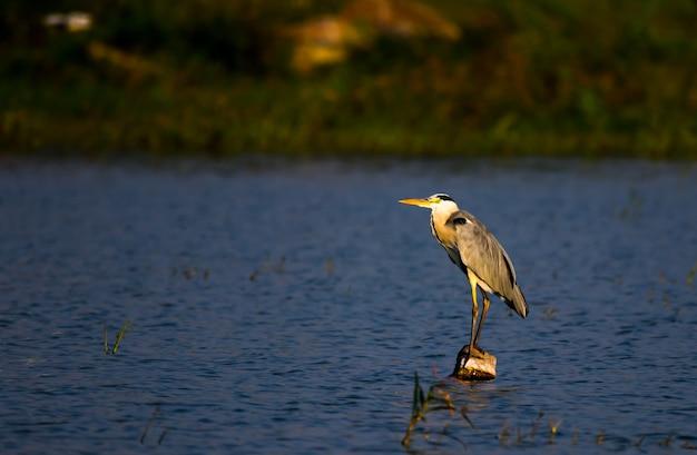 Le héron cendré se tenant fermement près de l'étang