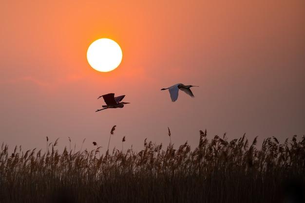 Héron cendré et spatule eurasienne volant contre le soleil
